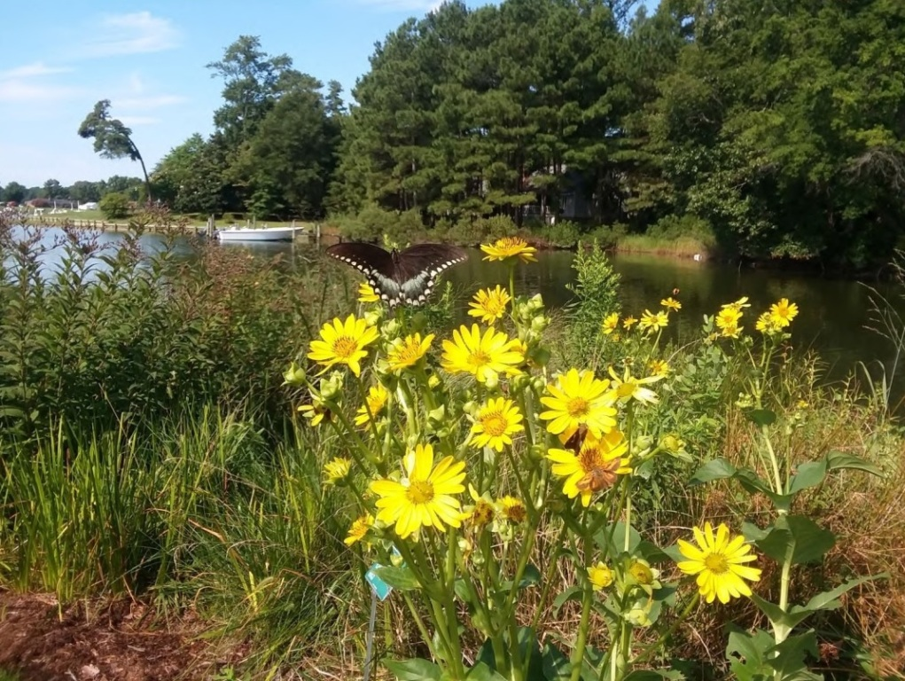 Reedville Shoreline Garden with butterfly